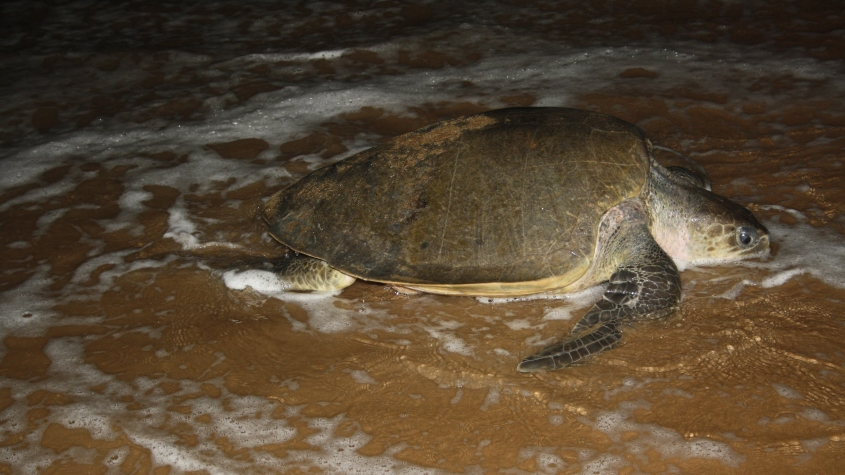 Olive Ridley turtle coming out of Bay of Bengal